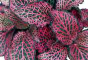 кливия киноварная. кофейное дерево. адиантум. дихоризандра.  Амариллис. впельтгеймия капская. ирезина. жасмин.