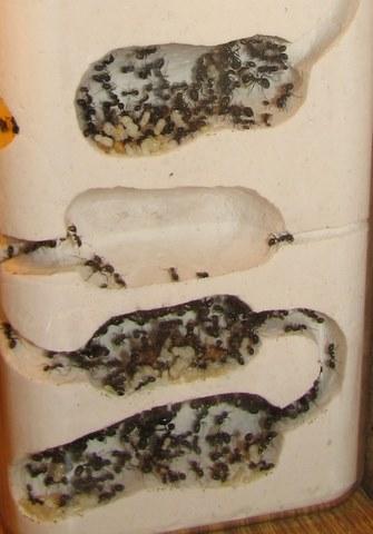 Для муравьев своими руками